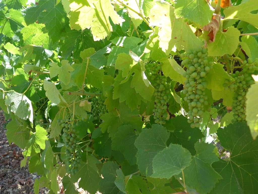 Avec le réchauffement climatique, le vin sera-t-il meilleur ?