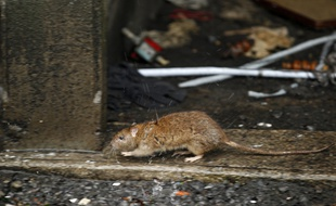 VIDEO. Paris. La vidéo choc d'un éboueur qui a filmé des dizaines (centaines?) de rats dans une poubelle - 20minutes.fr