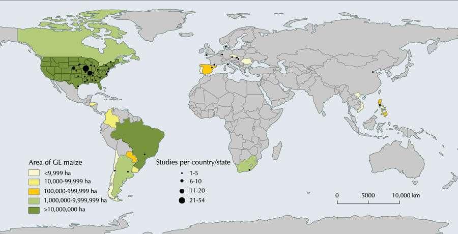 Surprenant : le maïs OGM serait bon pour la santé