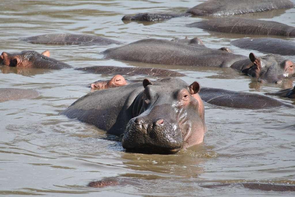 Pollution étonnante : les déjections d'hippopotames tuent des poissons