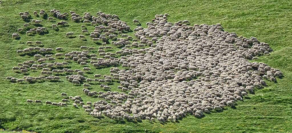 En Nouvelle-Zélande, des moutons émettent 10 % de méthane en moins