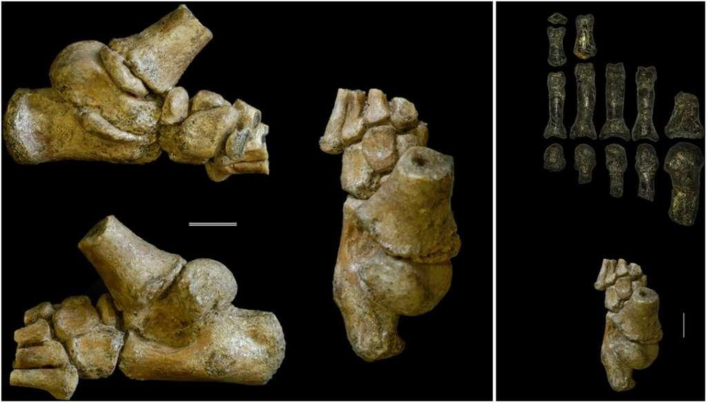 Australopithèques : leurs enfants grimpaient aux arbres