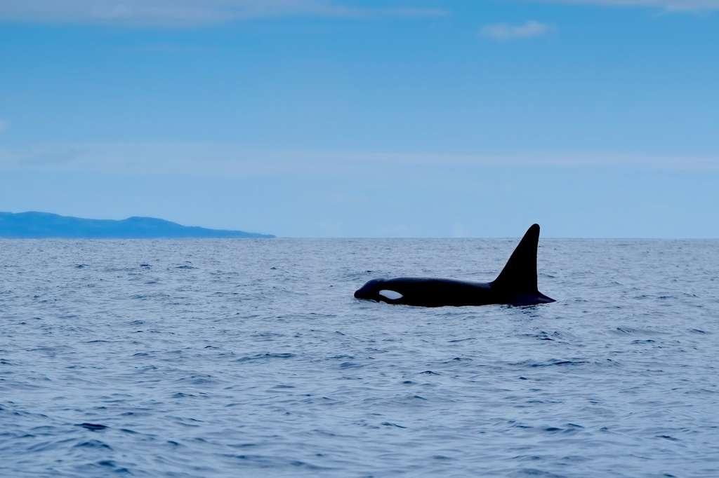 Biodiversité : la moitié des orques est menacée de disparition