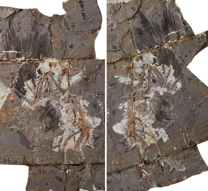 Qui était cet énigmatique oiseau fossile vieux de 127 millions d'années ?