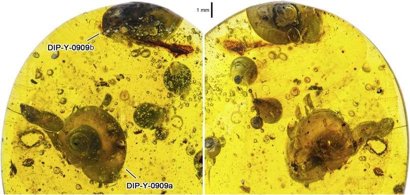 Un escargot conservé dans l'ambre depuis 99 millions d'années