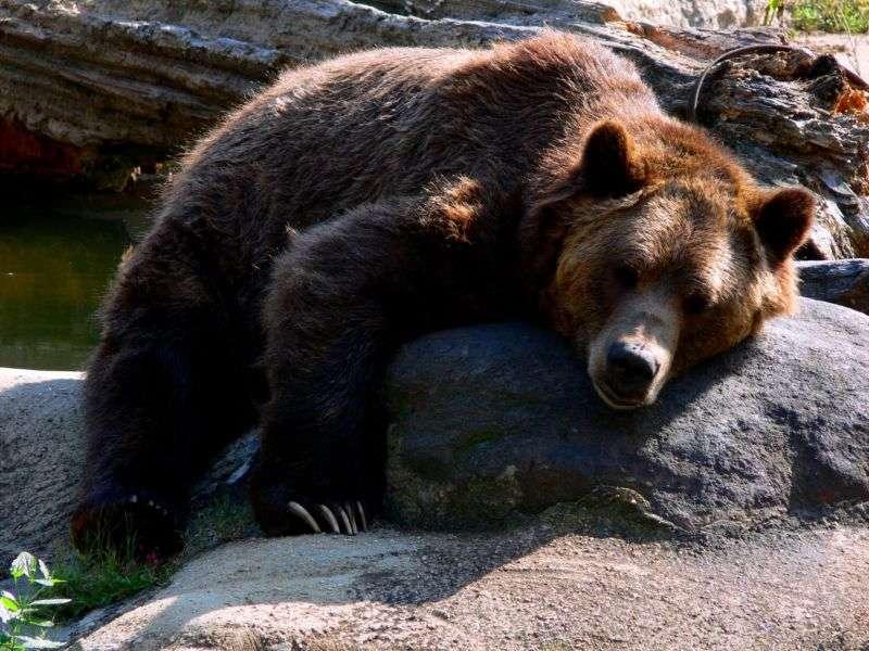 Science décalée : les menstruations humaines attirent-elles les ours ?