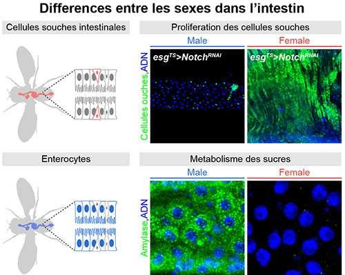 Les différences hommes-femmes se voient aussi dans l'intestin